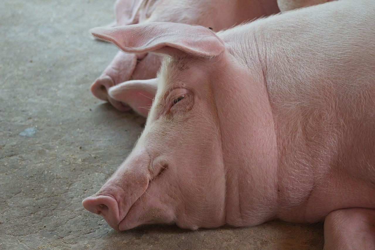 худая свинья фото плитка