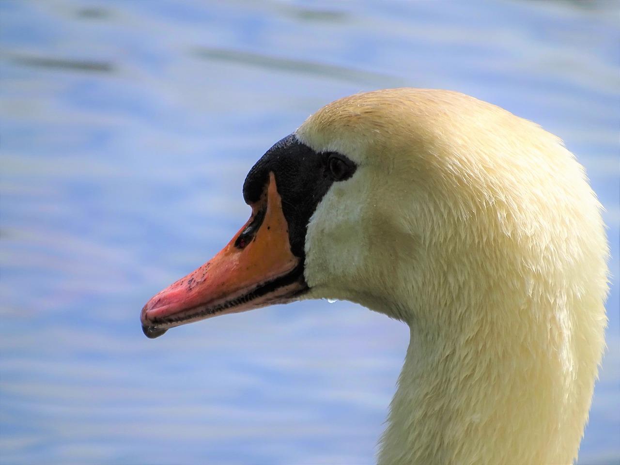 лебедь голова картинка целью