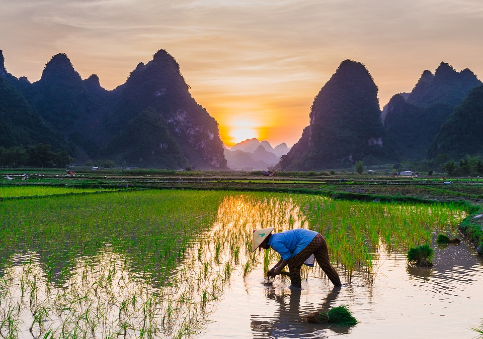 Rice Cultivation Fields