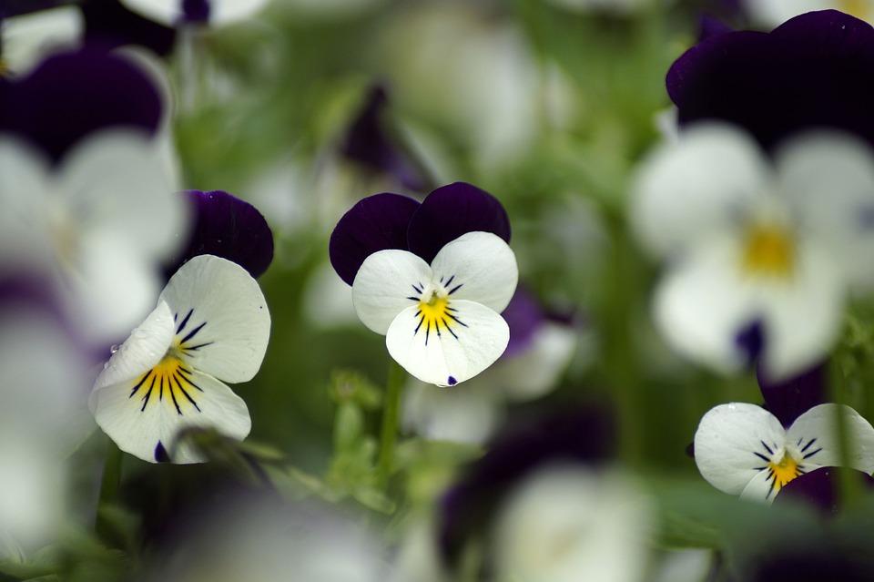 Pansy, Impianto, Viola, Primavera, Fiore, Flora