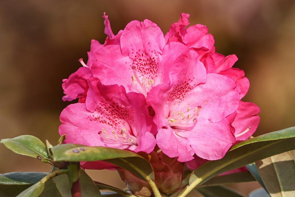 Rhododendron, Rhododendrons, Flowers, Pink, Flower