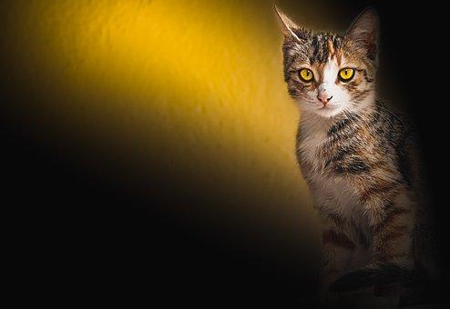Mladý plešatý kočička obrázky