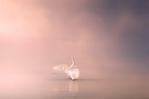 Swan, Lake, Water, Bird, Nature, Animal