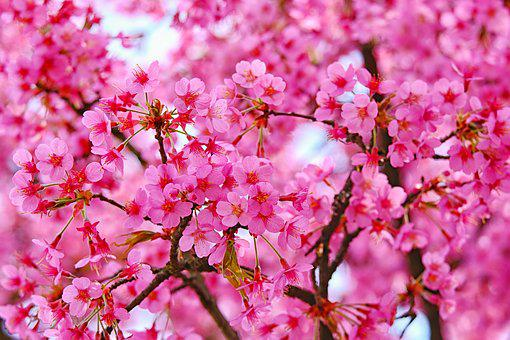 Blossom, Plum, Pink, Bloom, Spring