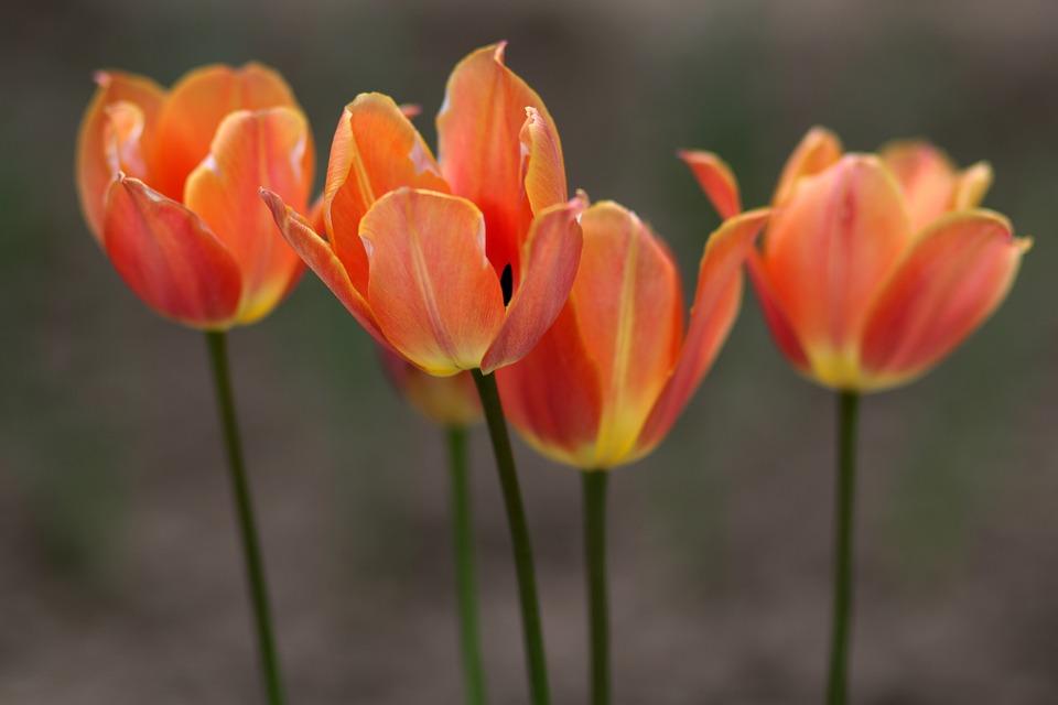 Tulipano Fiore Da Colorare Foto Gratis Su Pixabay