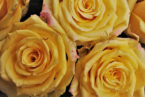 Yellow, Roses, Rose, Garden,  Know more about the days leading up to Valentine's day like Rose Day, Chocolate day and Anti-Valentine's day like break up day, slap day and more.