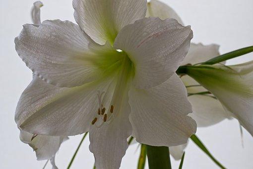 アマリリス, 花, ホワイト, ボル, 春の花, ブルーム, フローラ, 明るい