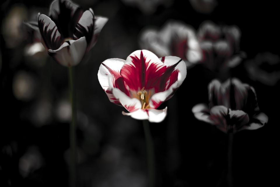 Bunga Tulp Hitam Gelap Foto Gratis Di Pixabay