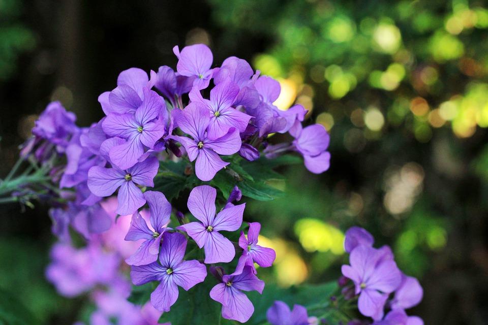 正直, パープル, 花, 装飾的です, 春の花, 日光, 庭, Lunaria