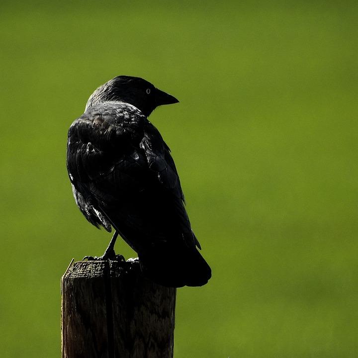 Download 108  Gambar Burung Gagak  Terbaru Gratis