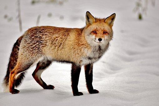 Fox, Mammal, Predator, Nature, Wild