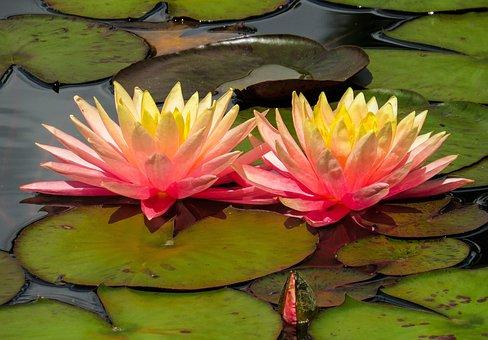 Coloriage Fleur De Nenuphar.Plus De 2 000 Images De Nenuphar Et De Fleur Pixabay
