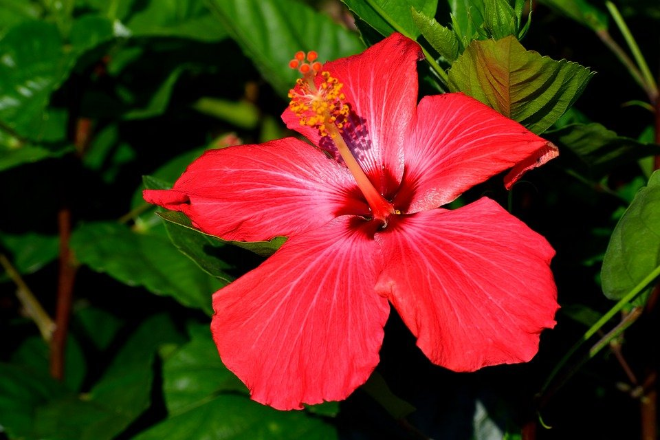 Vibrant Red Hibiscus Flower Floral Free Photo On Pixabay