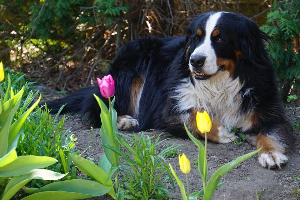 Bernese Mountain Dog, Perro, Animales, Perra