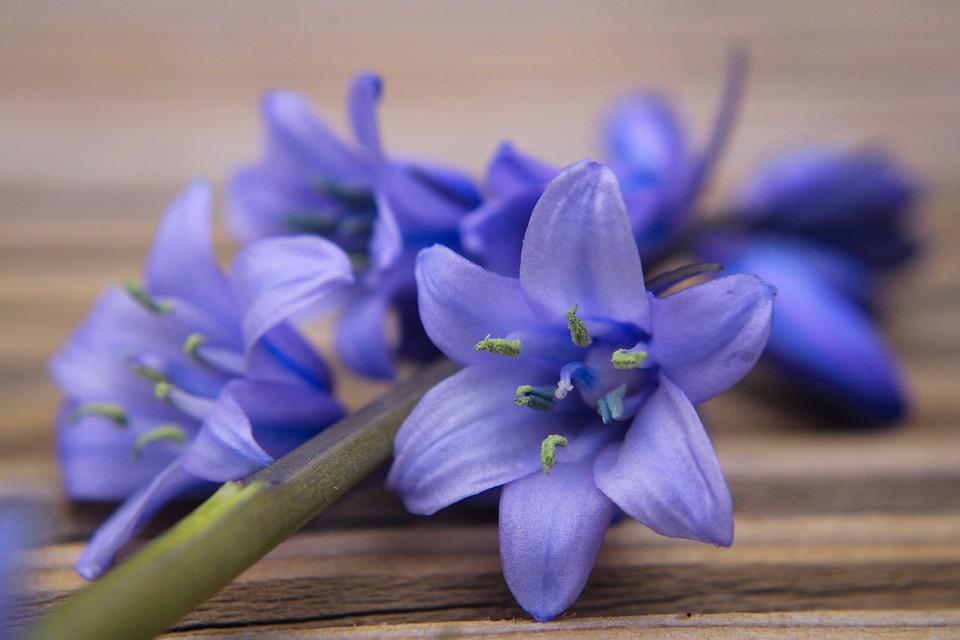 花, Bluebell, ブルースター, ブルー, 蝶蘭, 花鐘, 春, 野生植物, 春の花, 青い花, 自然