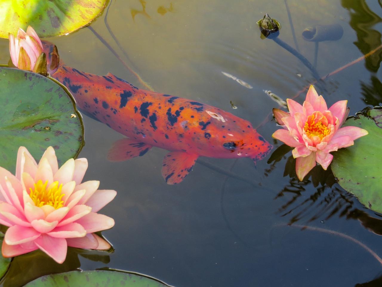 Картинки золотые рыбки в пруду