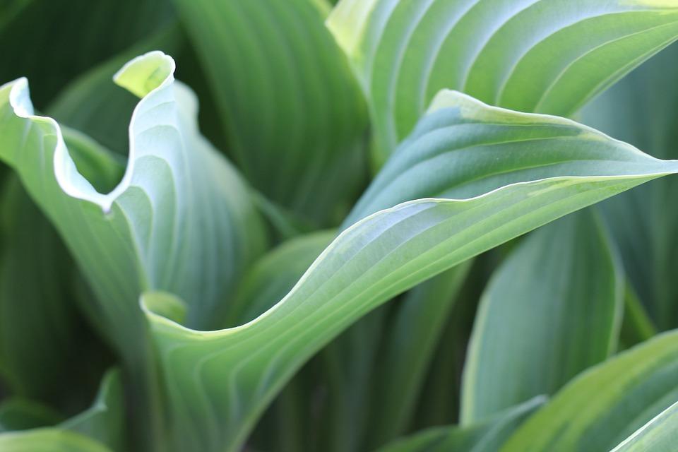 Hosta Leaf Plant Free Photo On Pixabay
