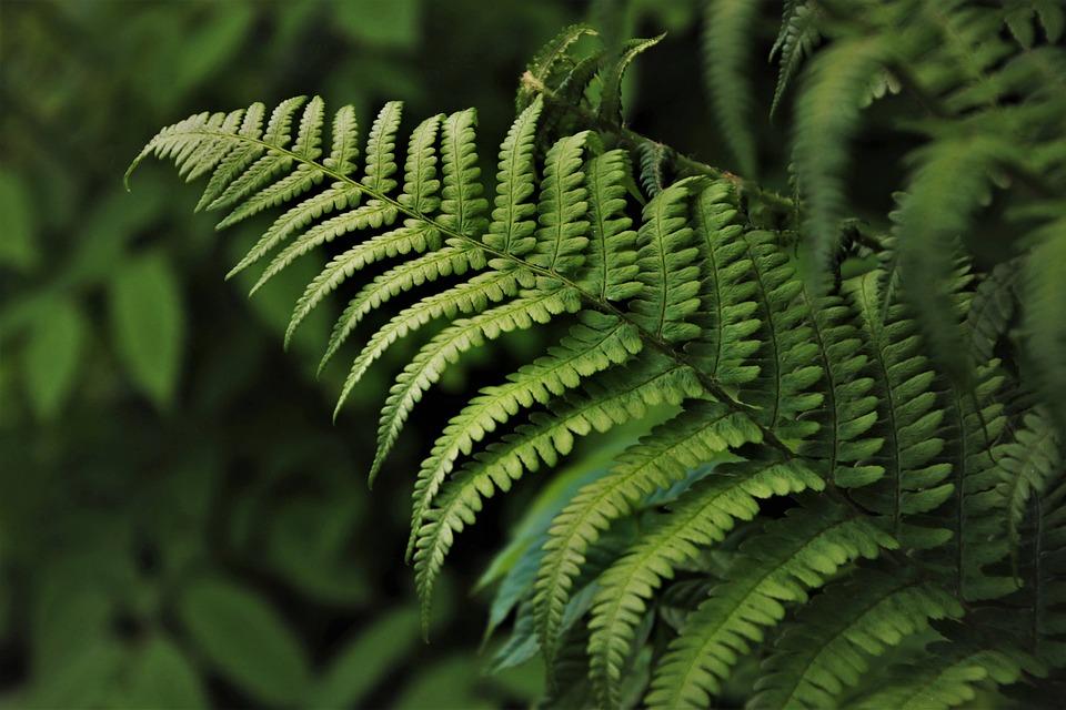 Verde, Helechos, Flora, Planta, Botánica, Selva