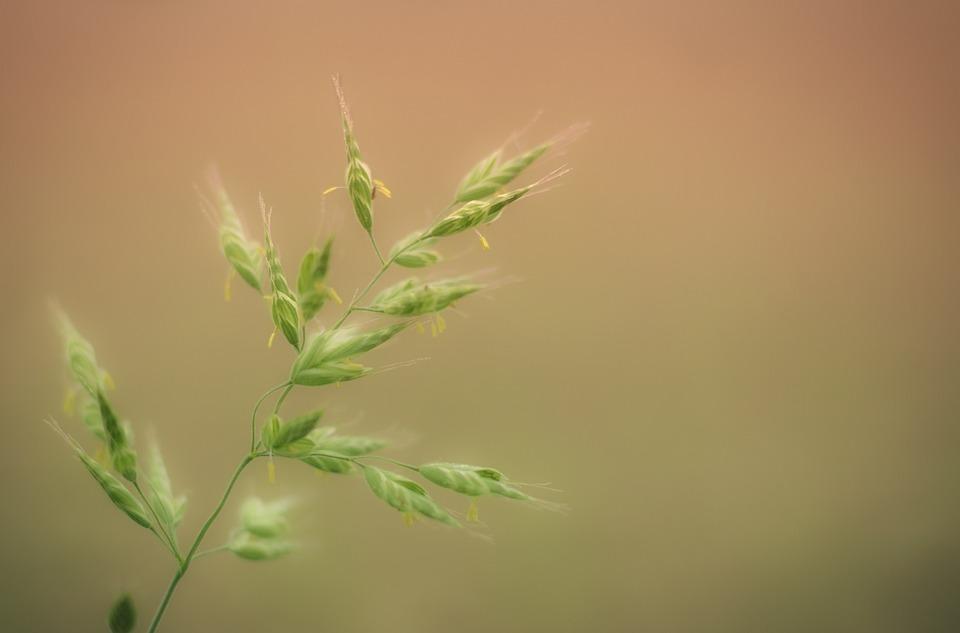 草, 草の葉, 穂, 自然, 塞ぎます, 牧草地, 花粉症, スプリング, 耳, ハルム, 気分, アレルギー