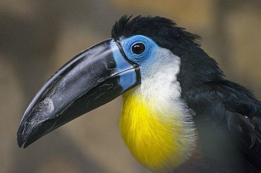 Toucan, Bird, Exotic, Colorful, Beak