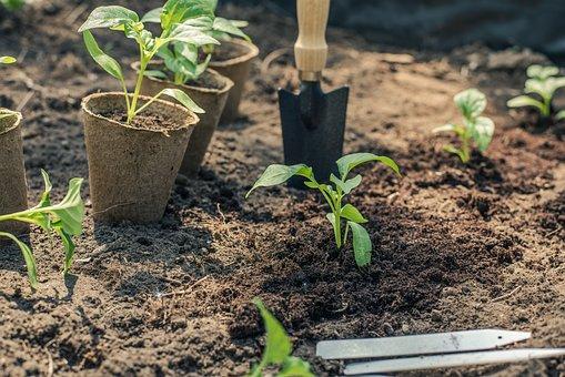 コショウ, 苗, 植付, 庭, ガーデニング, グリーン, 自然, ドライブ