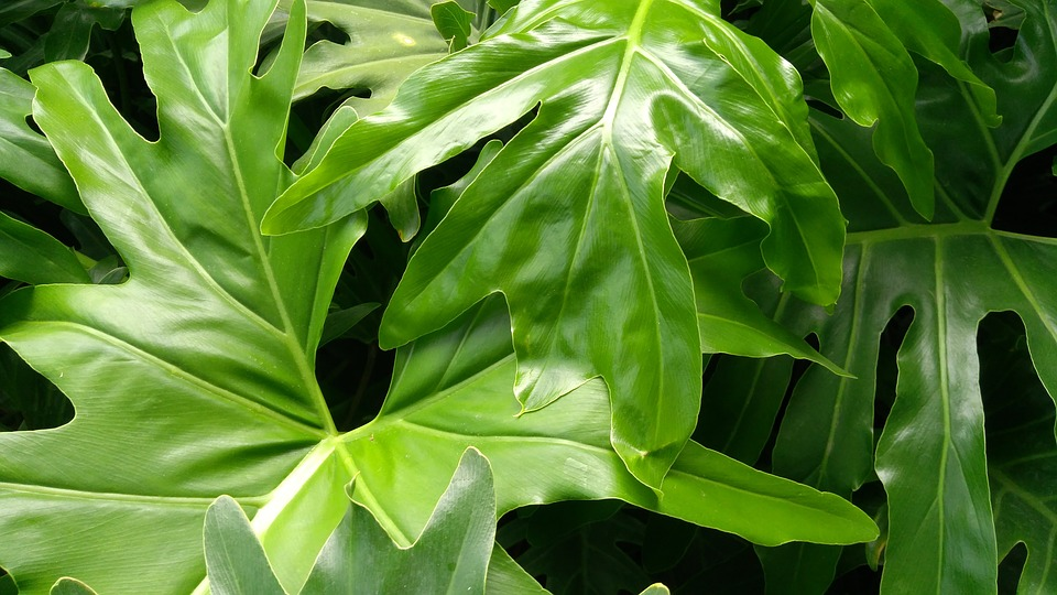 Lion, Philodendron, Leaf, Verde, Naturaleza, Nature