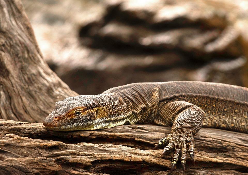 Goanna, Australian, Monitor, Wildlife, Lizard, Reptile