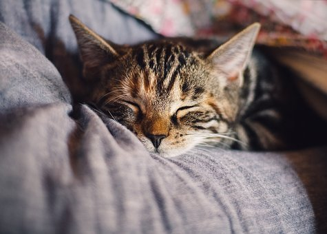 Cat, Domestic Cat, Mackerel, Sleep, Pet