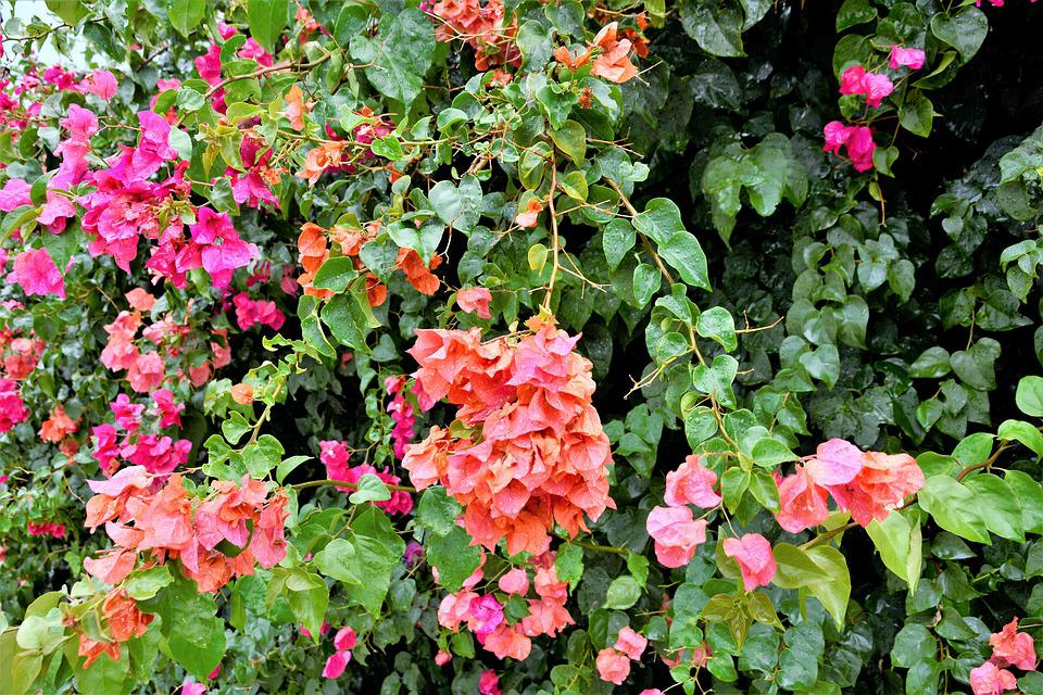 Flowers Colorful Flowering Vines , Free photo on Pixabay