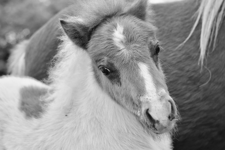 9100 Gambar Hitam Putih Kuda Poni Terbaik