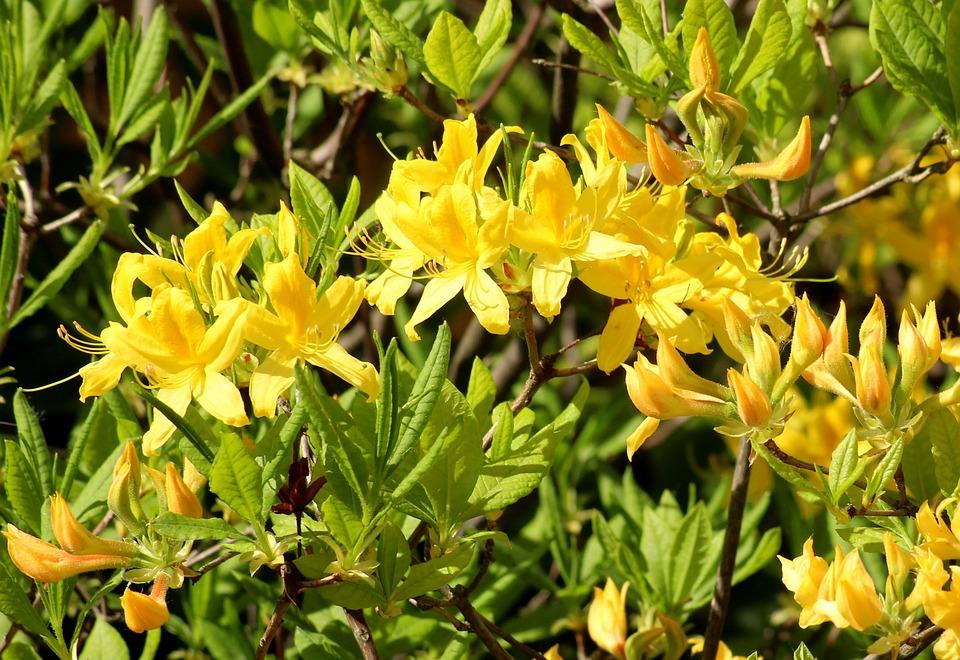 Azalea Rhododendron Yellow Flowers Free Photo On Pixabay
