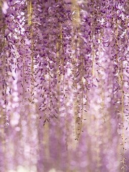 Flowers, Purple, Garden, Wisteria
