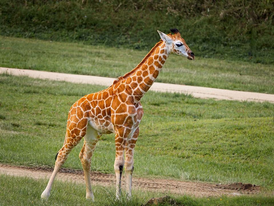 Efterstræbte Giraf Baby Dyr - Gratis foto på Pixabay UB-03