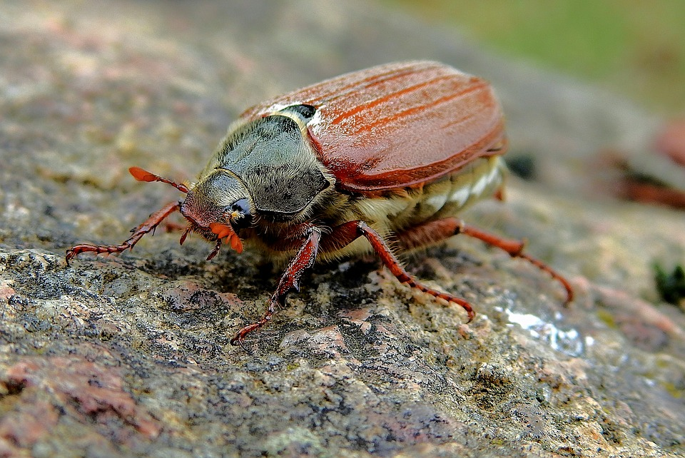 Maikäfer, Insekt, Der Käfer, Makro, Porträt