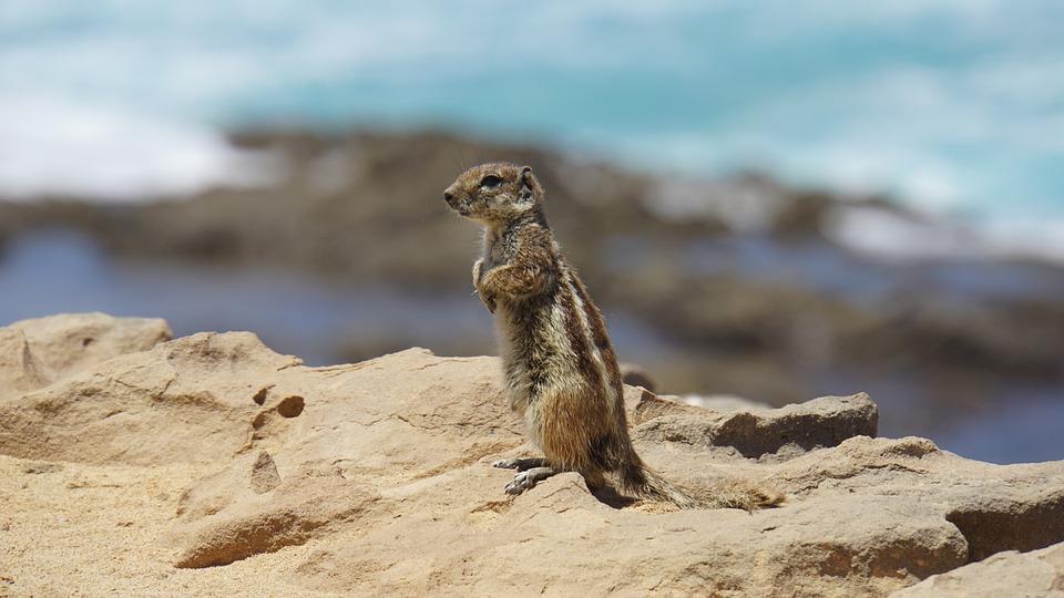 Chipmunk, Fuerteventura, Wyspa, Zwierząt, Nager