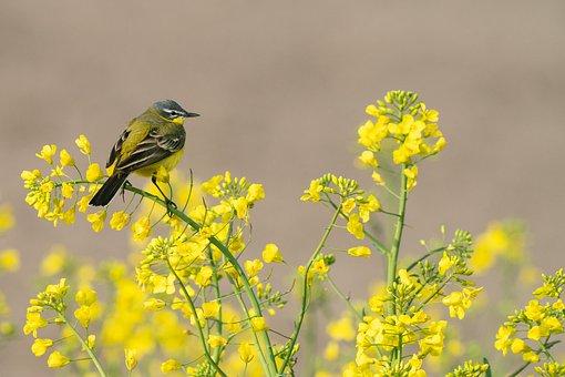 Bird, Western Yellow Wagtail