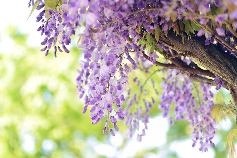 Natural, Flowers, Wisteria, Purple, Plant