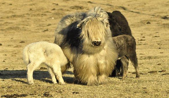 Yak, Yak Cub, Baby Yak, Mongolia
