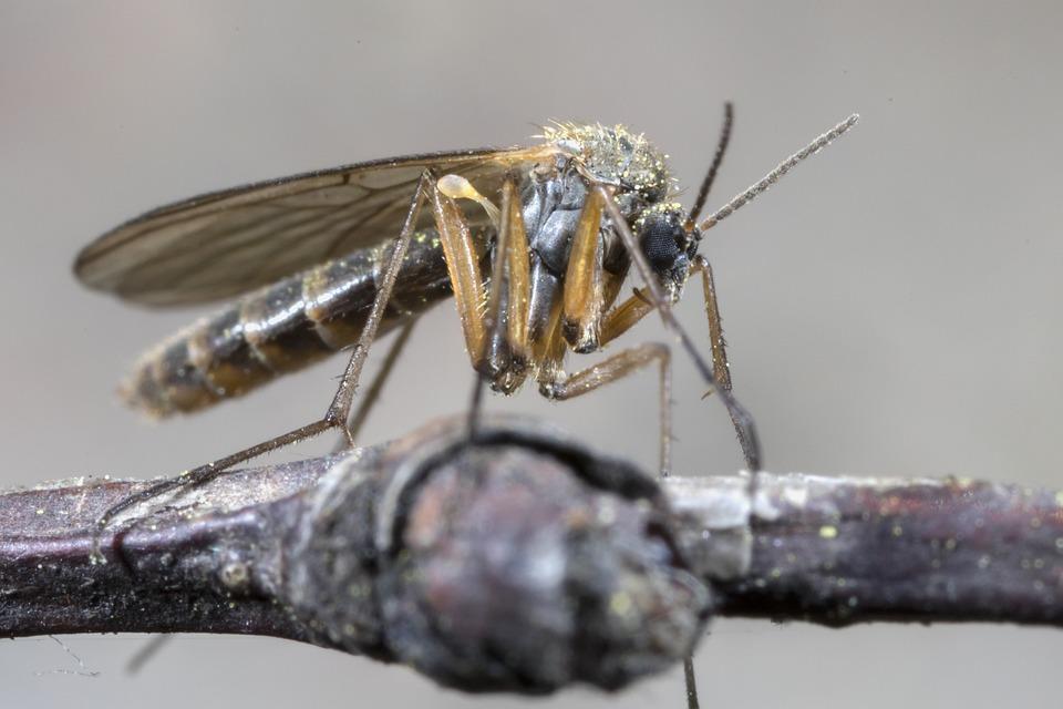 the-mosquito-4200280_960_720.jpg