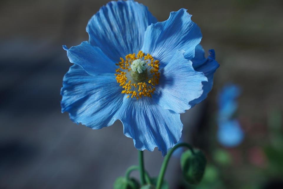 Himilayan Blå Birkes, Blomst, Kronblade, Forår