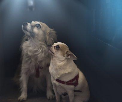 パピヨン, チワワ, 犬, 動物, わんちゃん