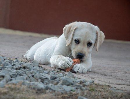 Perro, Zanahoria, Labrador, Animales