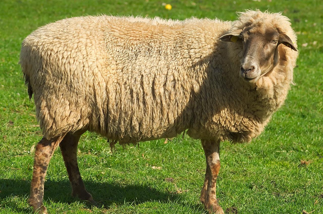 фото барана и овцы стильно