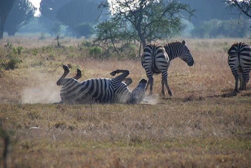 シマウマ, アフリカ, サファリ, ストライプ, ケニア, ナクル湖