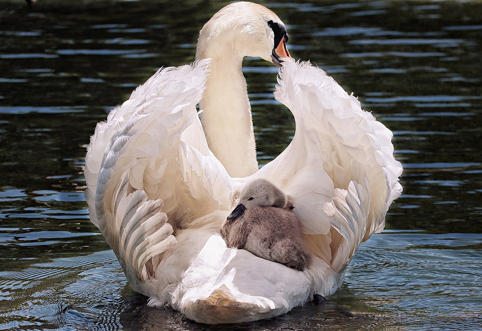 Cigno, Baby Swan, Bianco, Cigno Bianco, Acqua, Lago