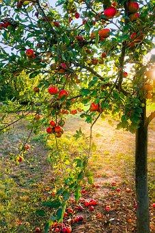 Apfelbaum, Äpfel, Licht, Herbst