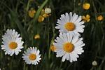 łąka, kwitnące, rumianki