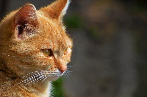 Červená mačička obrázky