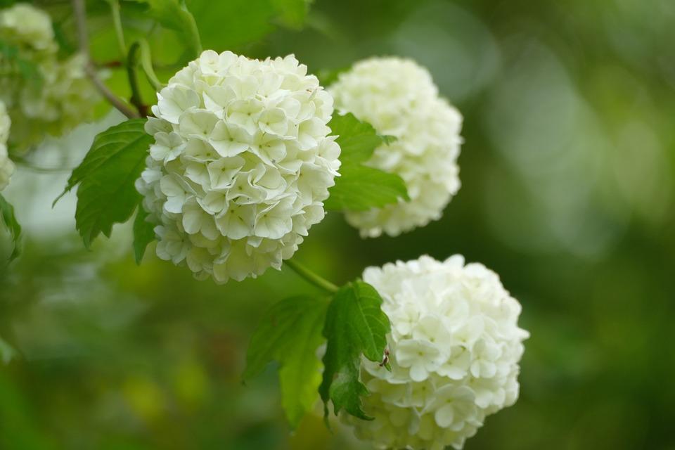 Boule De Neige, Viburnum, Arbuste, Botanique, Fleurs