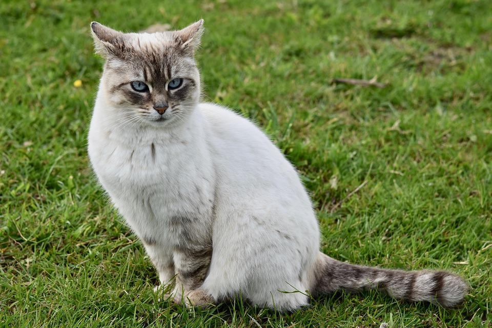 Gato, Gatinho, Felino, Alley Cat, Europeia Gato